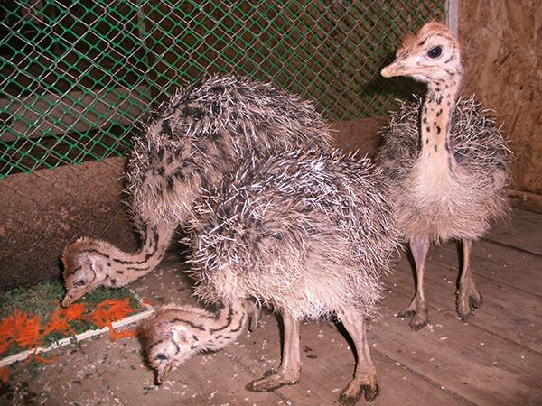 ВПензенском зоопарке устраусов появилось первое потомство